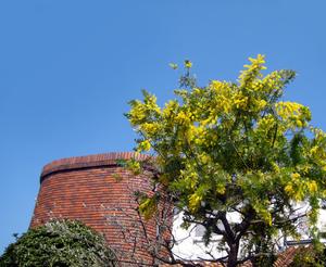 mimoza20001.jpg