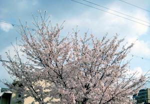 sakura-k20003.jpg